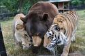1. Shere Khan, Baloo and Leo