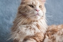 3) Maine Coon