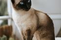 1) Siamese